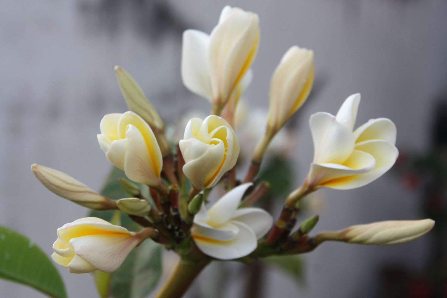 bec de perroquet, fleurs de frangipanier, orchidée, mâle bélier (jaune) et cardinal (rouge)...