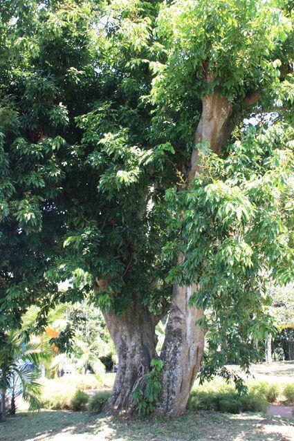 Si comme moi vous ne saviez pas sur quel arbre poussent les litchis, le voici  (le litchi) ! dommage, ce n'est pas la saison des fruits du même nom...