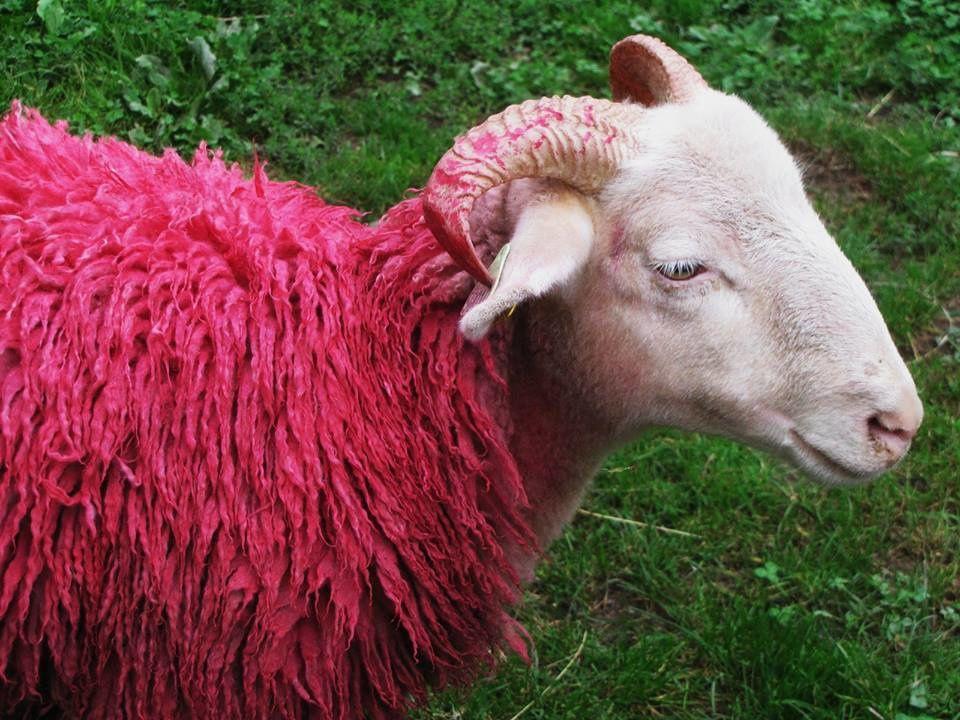 même les moutons participent à cet octobre rose....