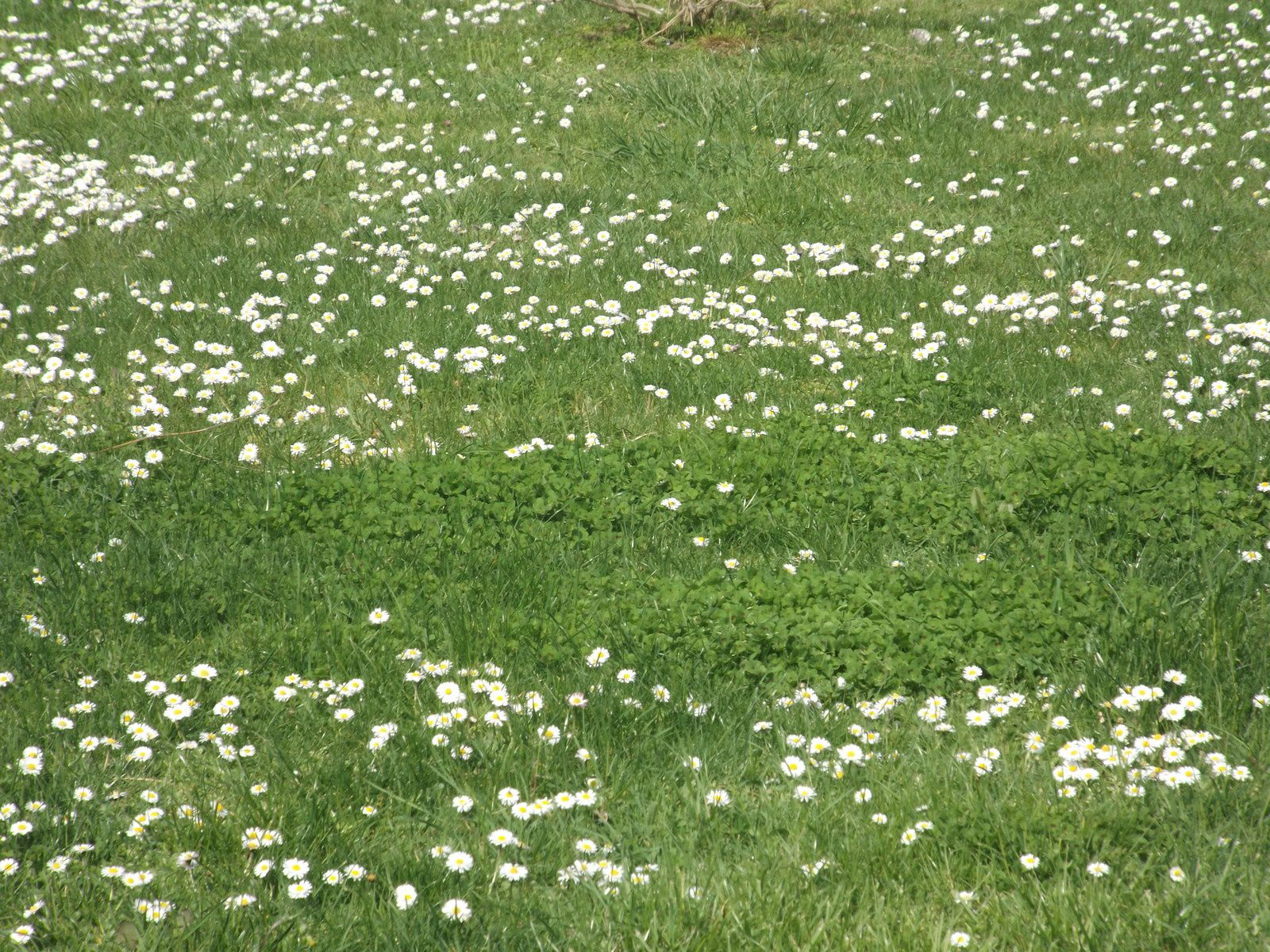 un joli tapis de pâquerettes recouvre le sol....
