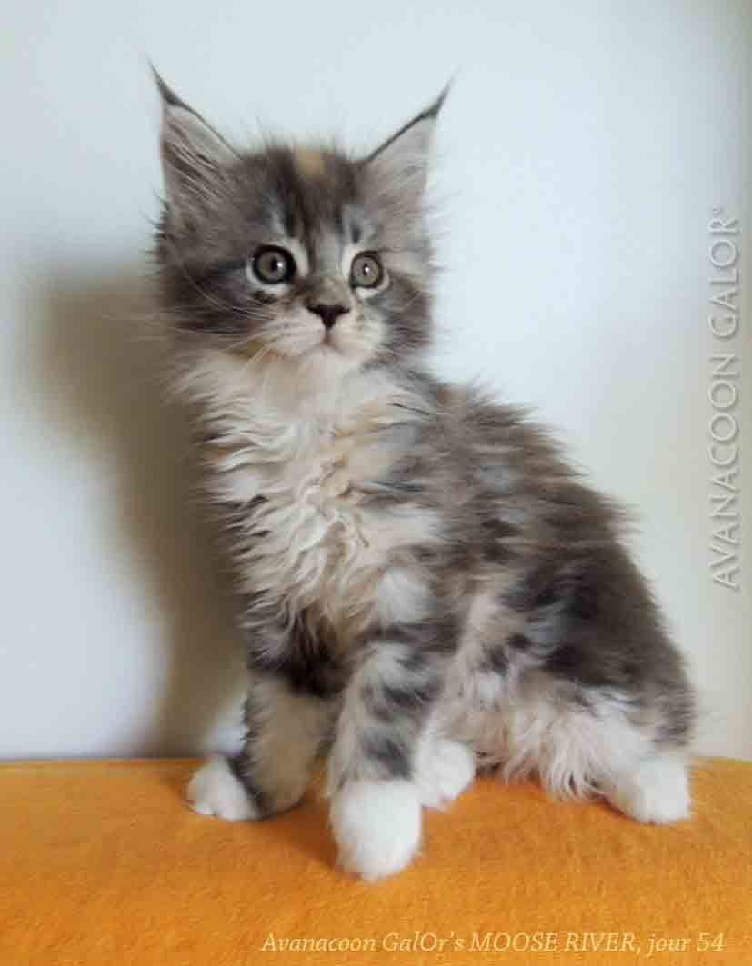 AVANACOON GALOR'S MOOSE RIVER, femelle blue silver tortie blotched tabby & blanc, 54 jours sur la photo