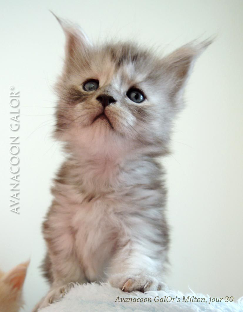 Avanacoon GalOr's MILTON MUFFIN, mâle black silver mackerel tabby, 30 jours