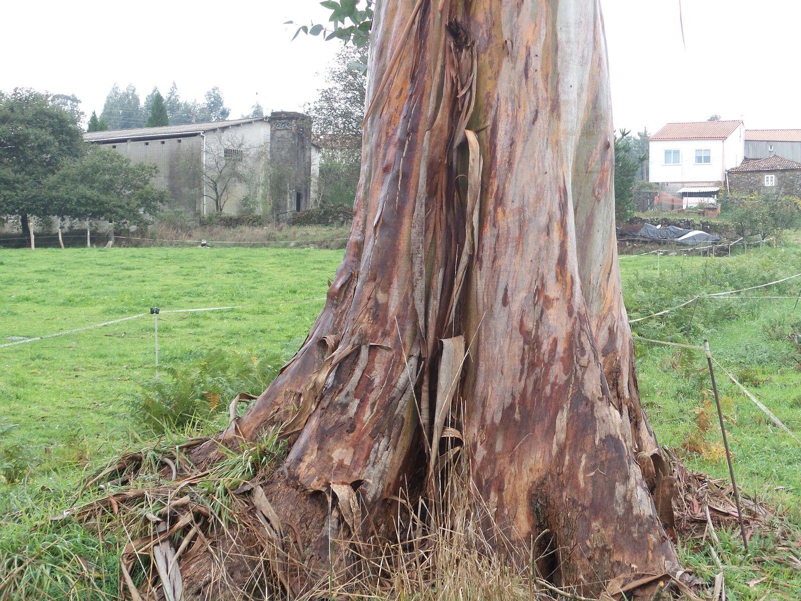 Changement de décor: les forets d'eucalyptus