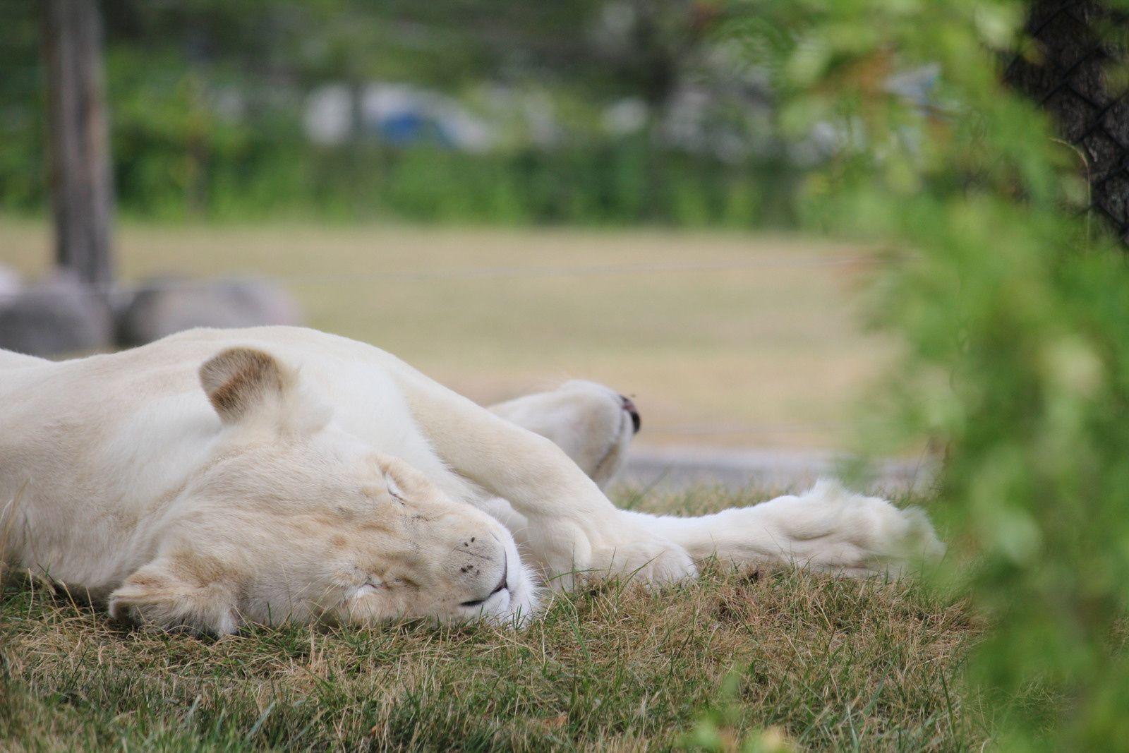 J'ai été impressionné par tous ces félins surtout les lions blancs, mais leur enclos me semblait trop petit