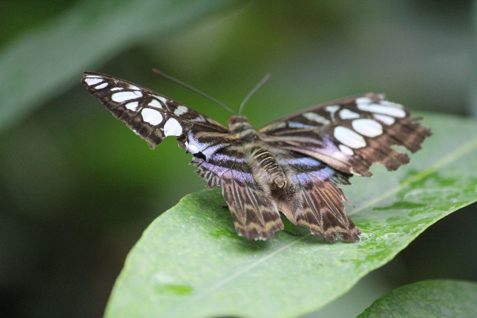 Fragiles mais tellement beaux, les papillons ne cessent de m'émerveiller. Il y en a même un qui s'est posé sur mon épaule mais Ashu n'a pas été assez rapide pour la photo