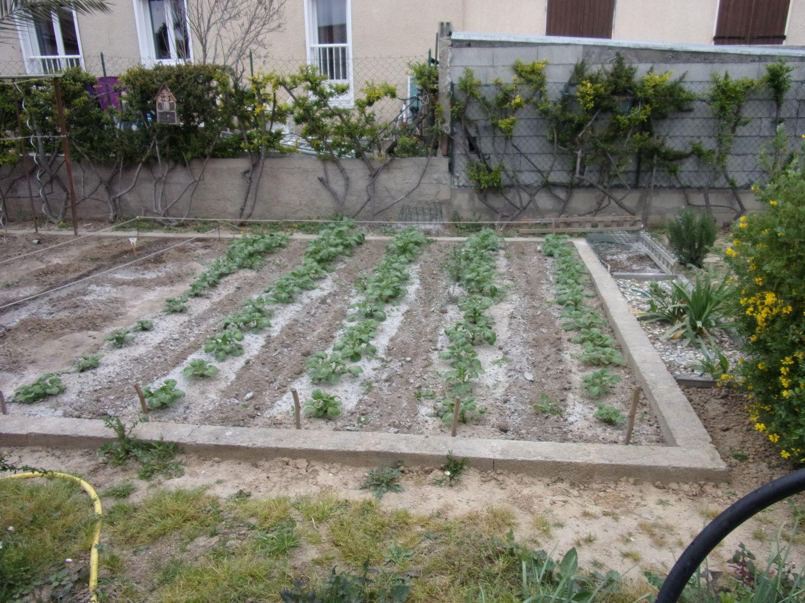 Cultiver les pommes de terre jardin du midi - Arrosage pomme de terre ...