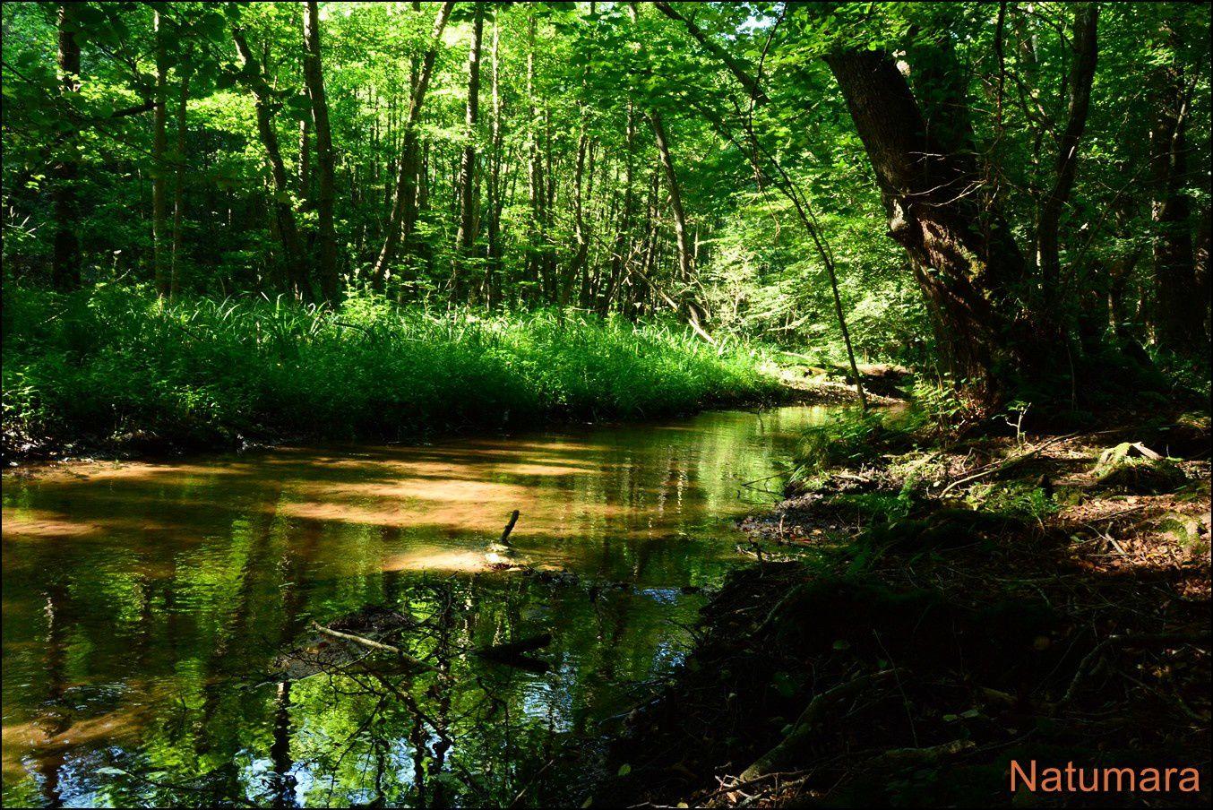 Précieuses Aulnaies marécageuses : vallée du Niederbaechel