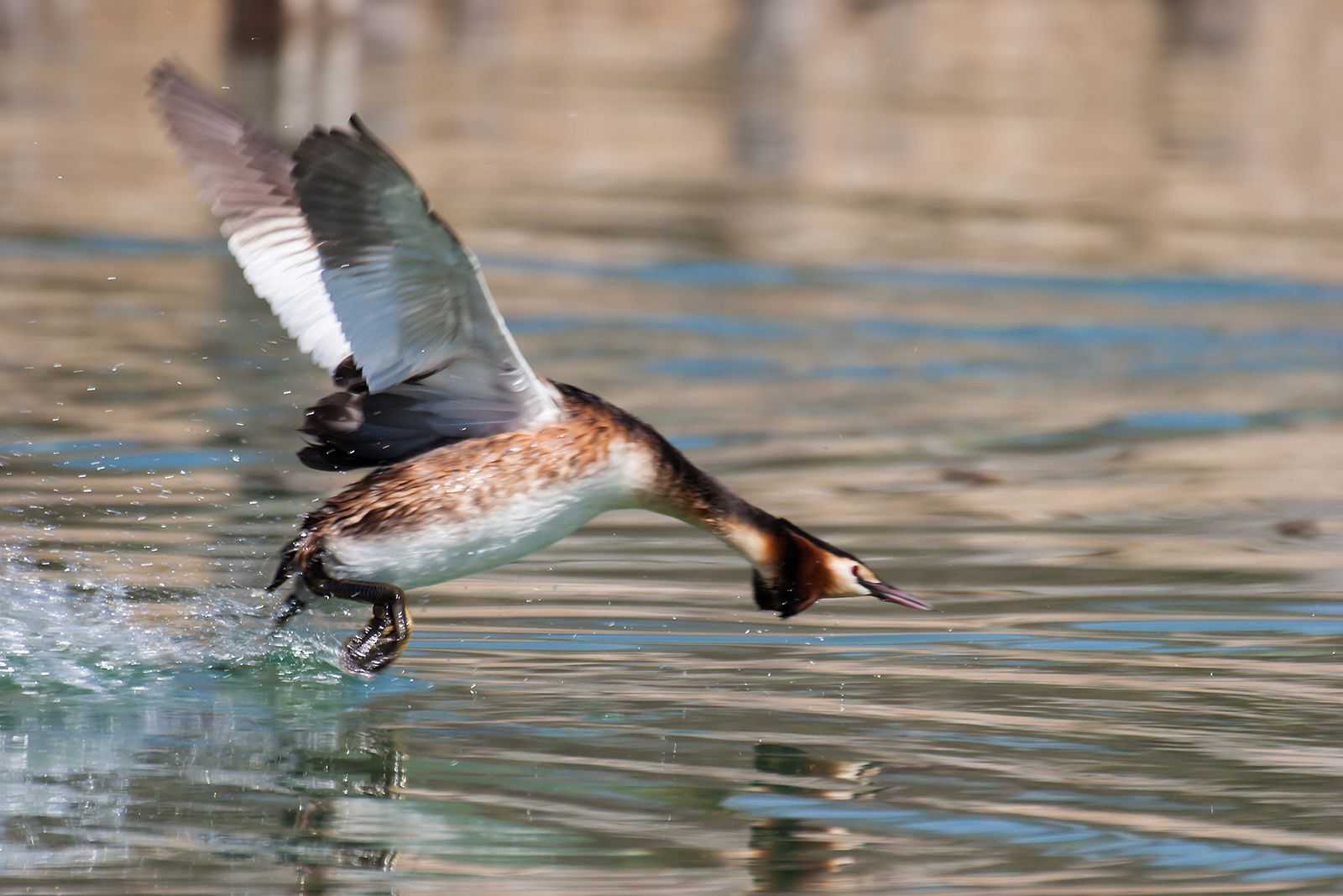 GREBES HUPPES - PARADE NUPTIALE