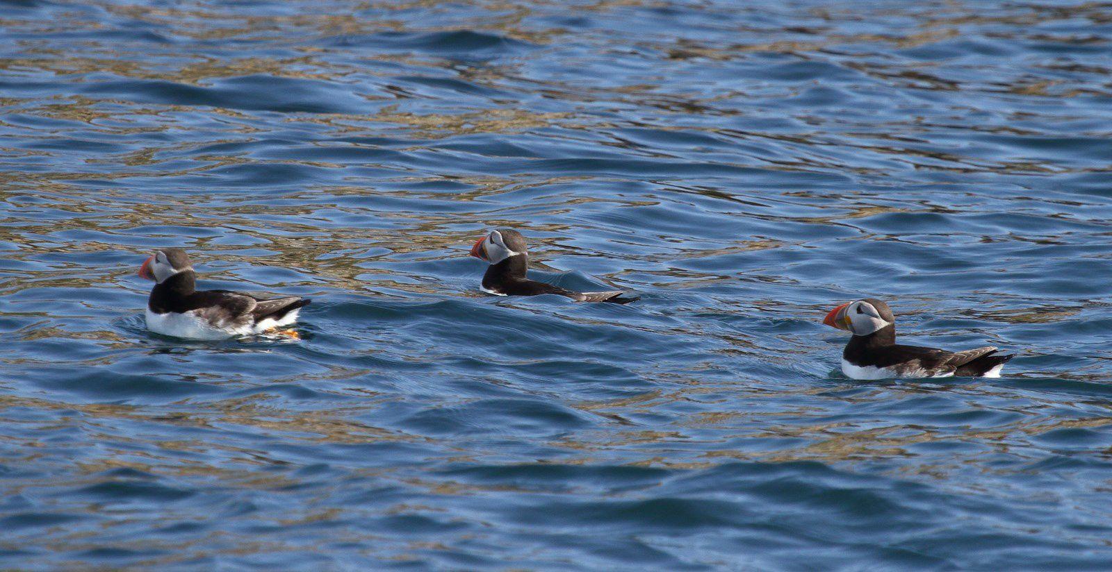 Un tour des sept îles avec la LPO m'a permis de découvrir les fous de bassan (superbe oiseau), les macareux, pingouins torda,phoques gris, cormorans huppés...