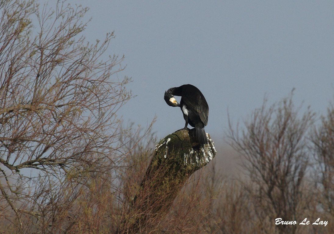 Grand cormoran sur son perchoir...
