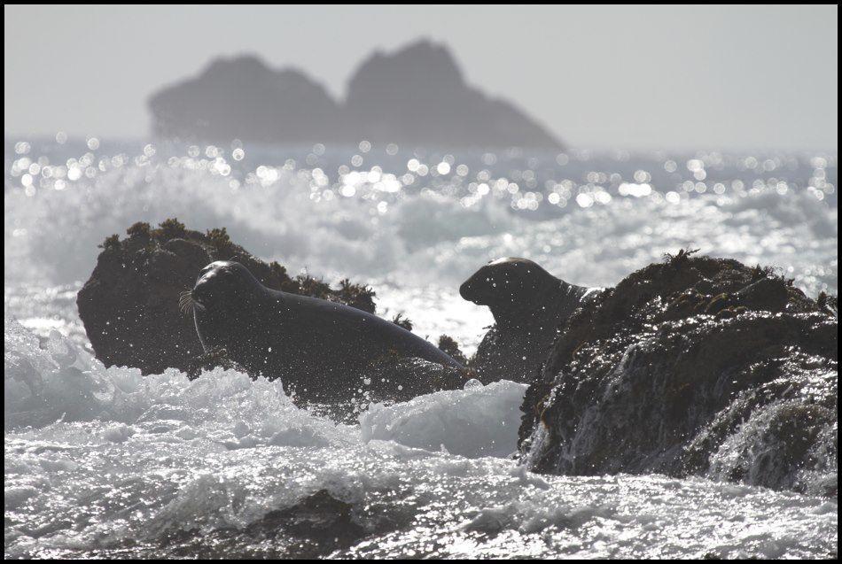 phoques gris dans l'écume des vagues
