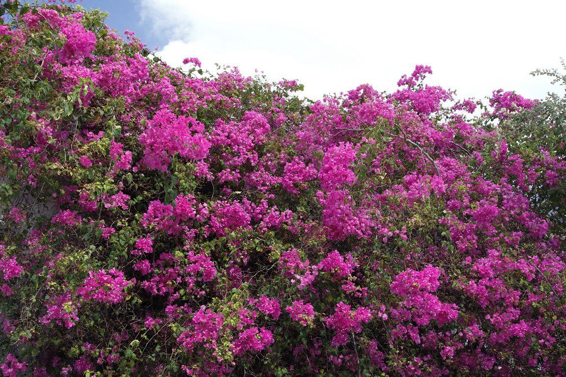 Bougainvillier ( St Jhon's - Antigua )