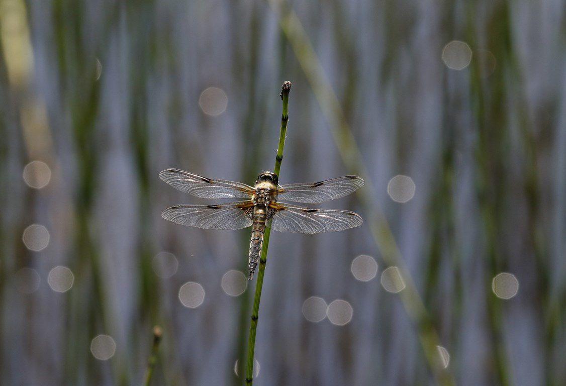 Libellules... (&quot&#x3B;libellules vraies&quot&#x3B; ou &quot&#x3B;anisoptères&quot&#x3B; )
