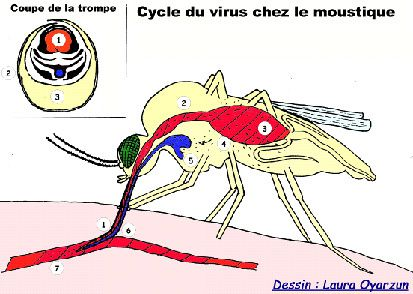 image via http://www.institutpasteur.nc/les-moustiques-et-la-dengue/