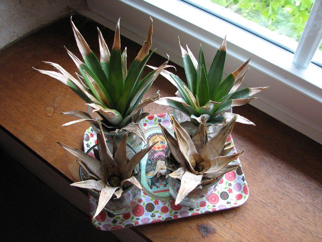 Test : faire pousser un ananas -constatations-
