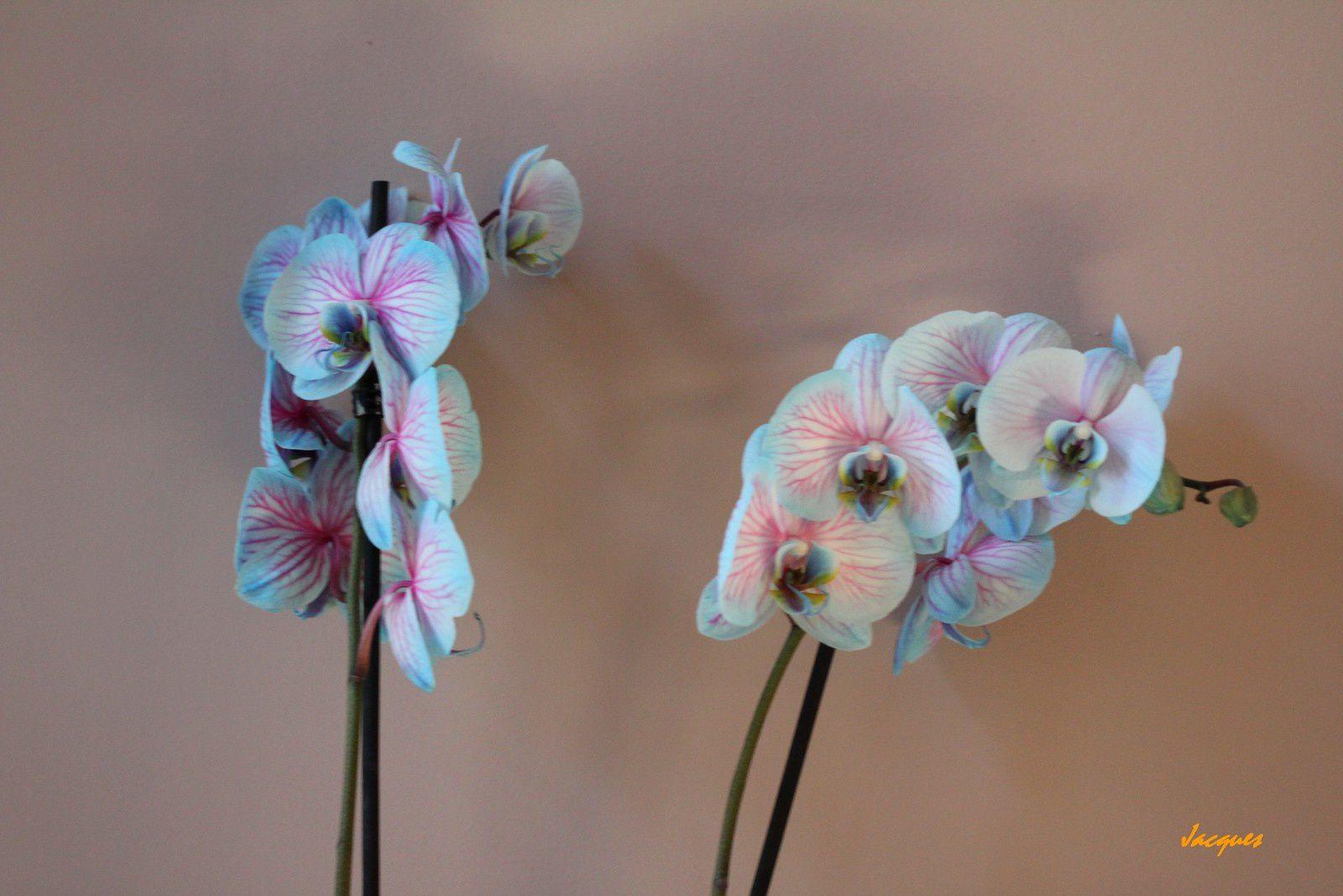 Nommée Phalaenopsis Blue