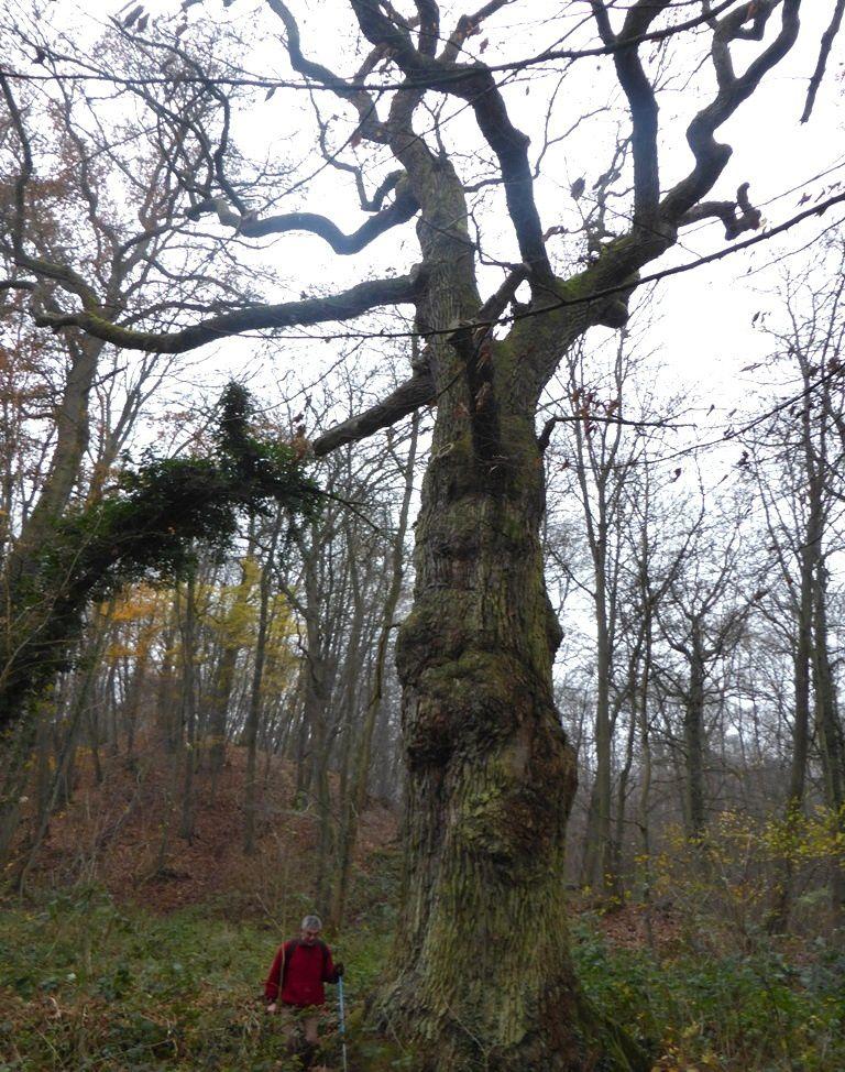 Le chêne de Louis XIV - Le roi venait (...) se reposer sous cet arbre