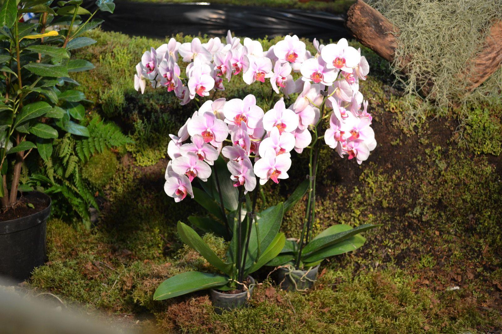 La fête des orchidées à Urcel (pinocchio)