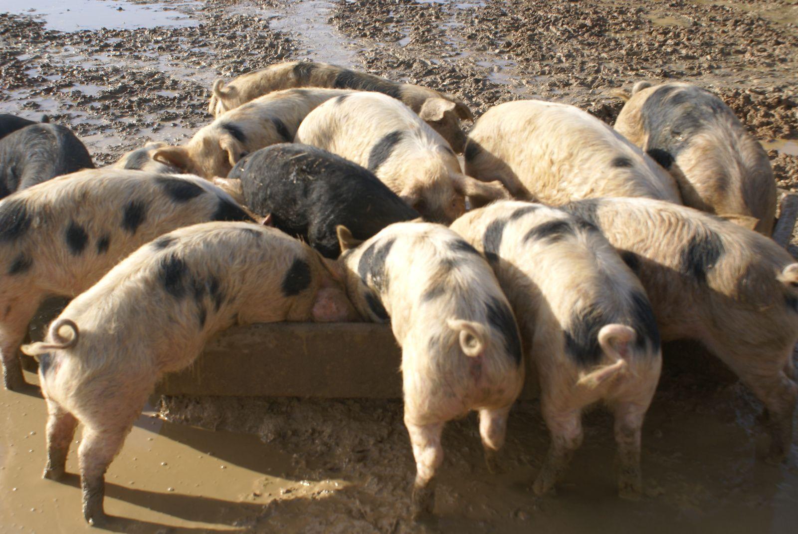 Les porcs de Longué, photo Valérie Gentil