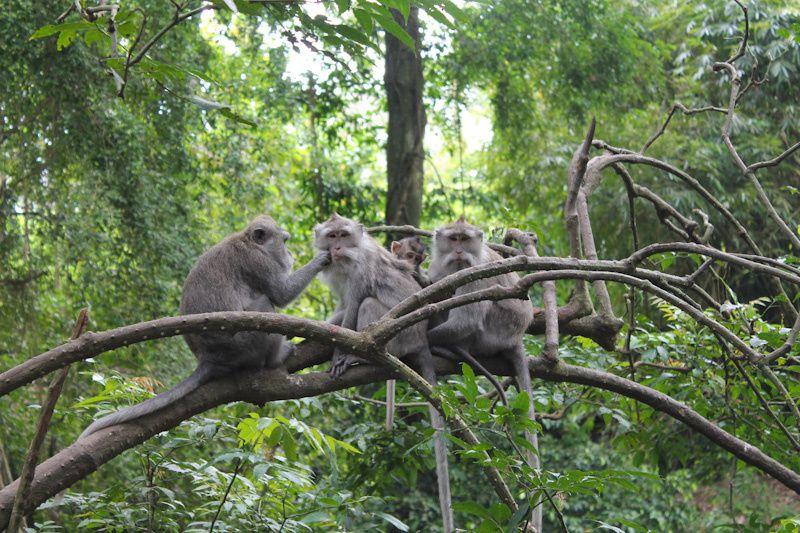 Monkey Forest dans le sud de la ville.
