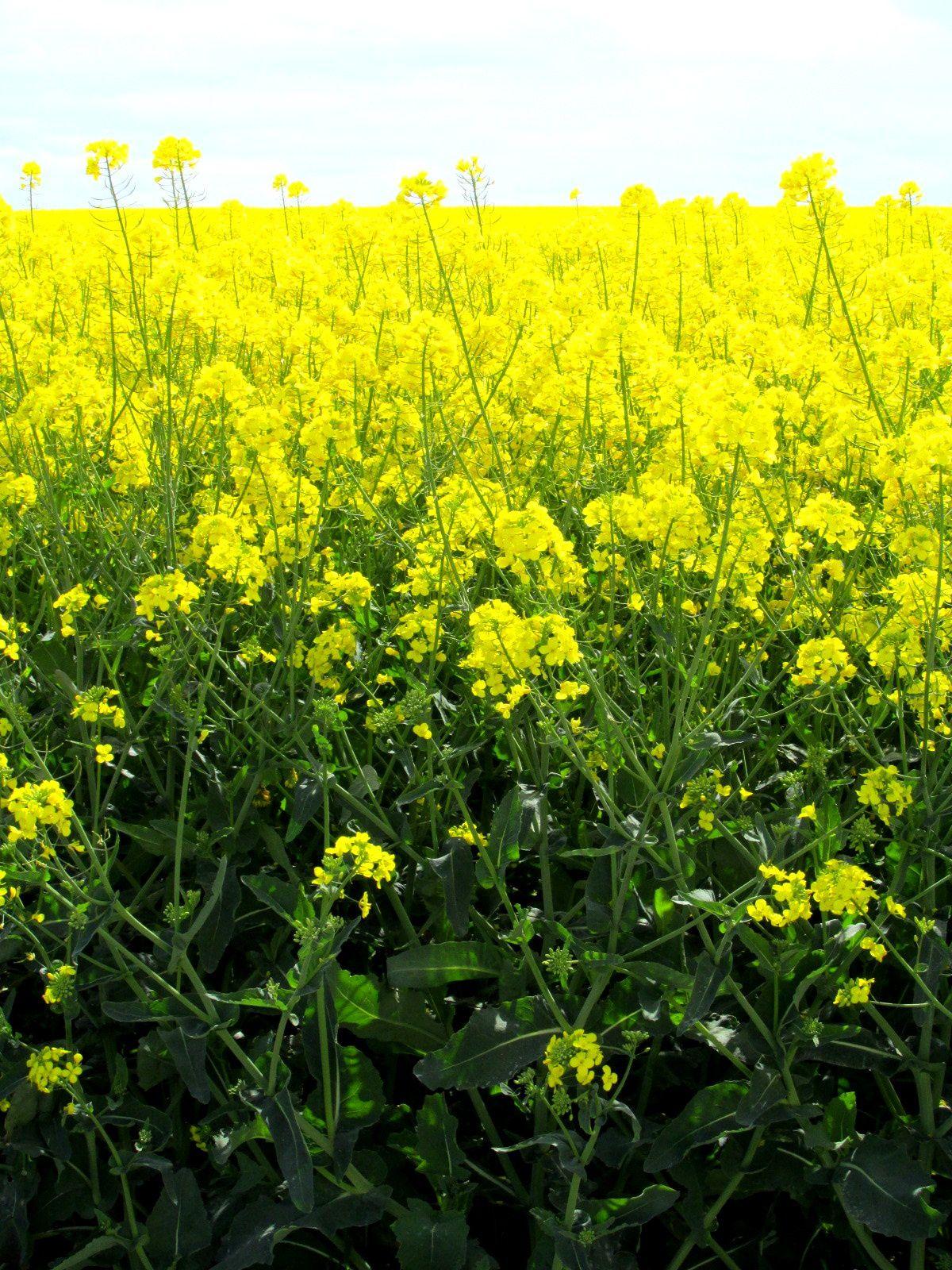 ~ Jour 1 ~ A-M : Rallye ~ Basse-Normandie ~ Asnelles ~ Paysage normand ~ Champ de fleurs de colza ~ Sentier ~
