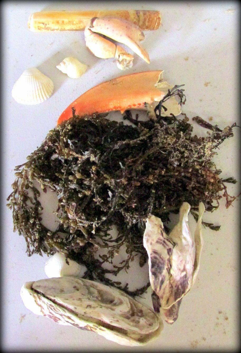 ~ Jour 2 ~ Matinée : A la découverte des faune et flore du littoral ~ Crustacés (8 pattes), coquillagés (bivalves et gastéropodes) et plantes marines (algues) ~