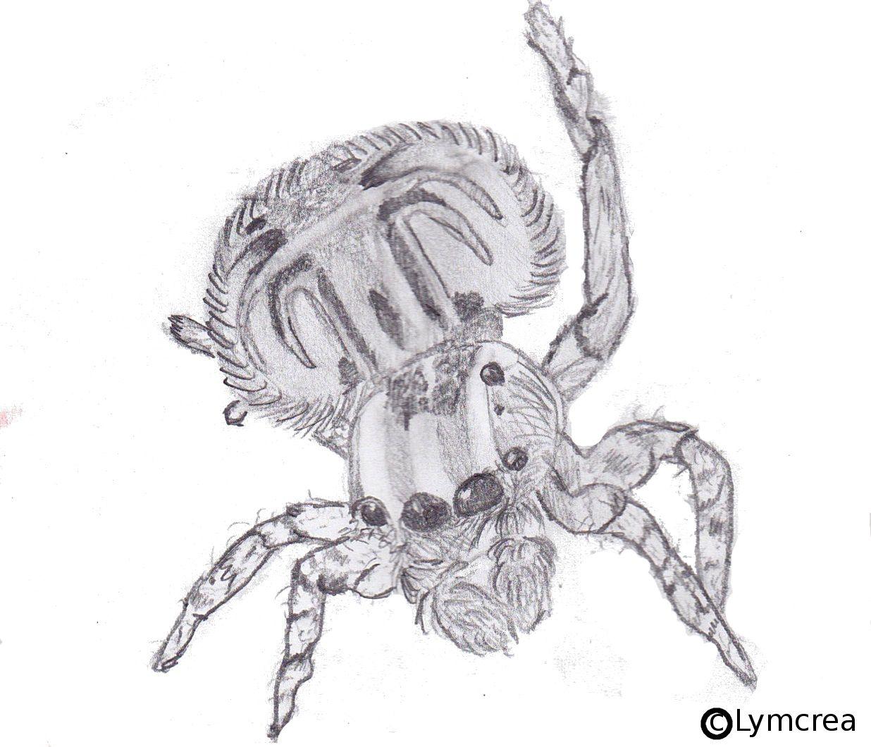 Voilà une araignée-paon. J'ai fait ce dessin en Nov 2012.