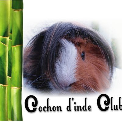 Comme chat et cochon d'inde ! guinea pig and cat