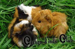 Liste des fruits, légumes et aromates riches en vitamine C pour cochons d'inde