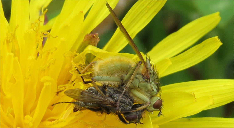 Ici nous assistons à un repas entre insectes...