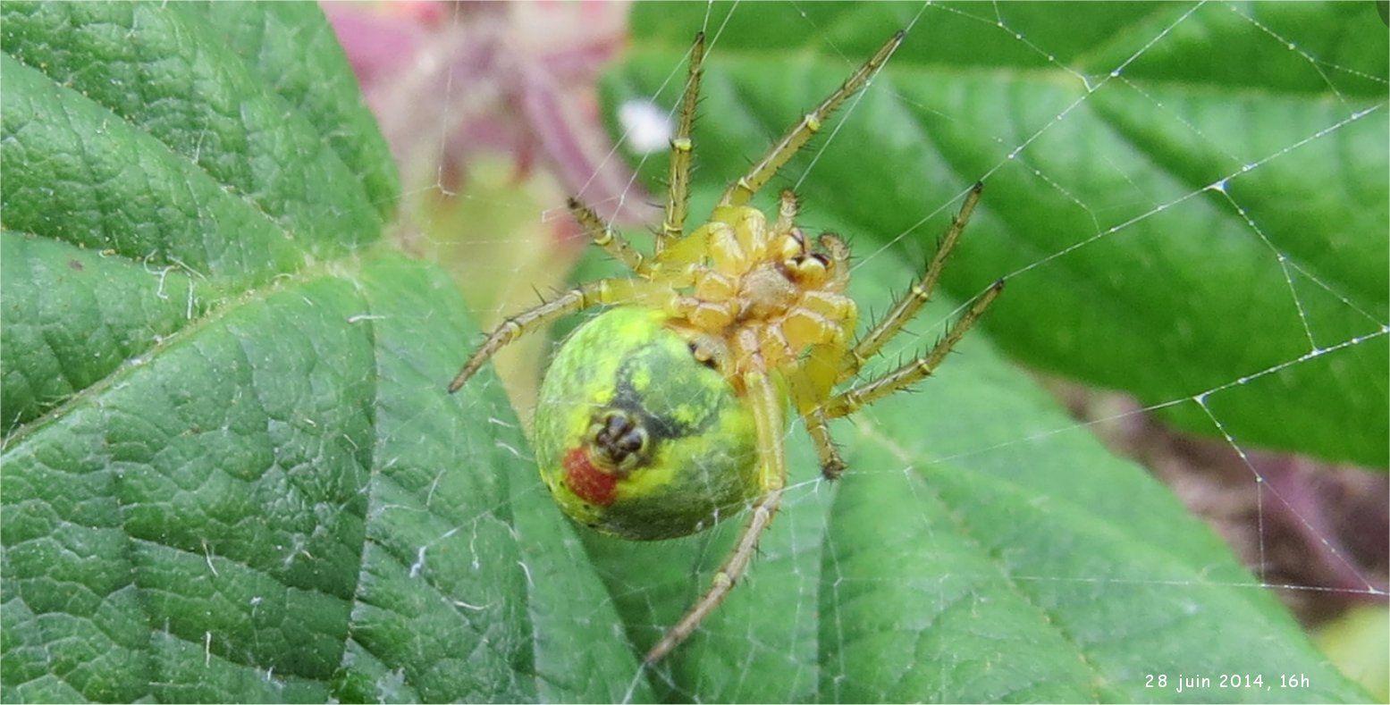 .. et cette araignée multicolore qui pourrait être une araignée femelle du genre Areniella cucurbitina (me dit Anne).
