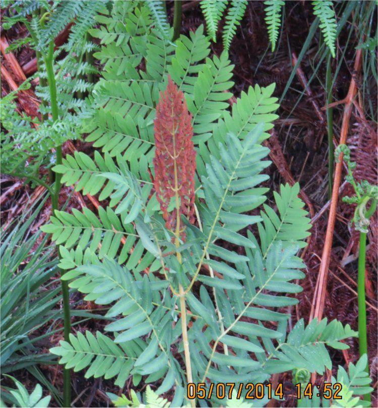 … avec leurs feuilles fertiles dont la couleur brune tranche sur le vert du reste de la plante.