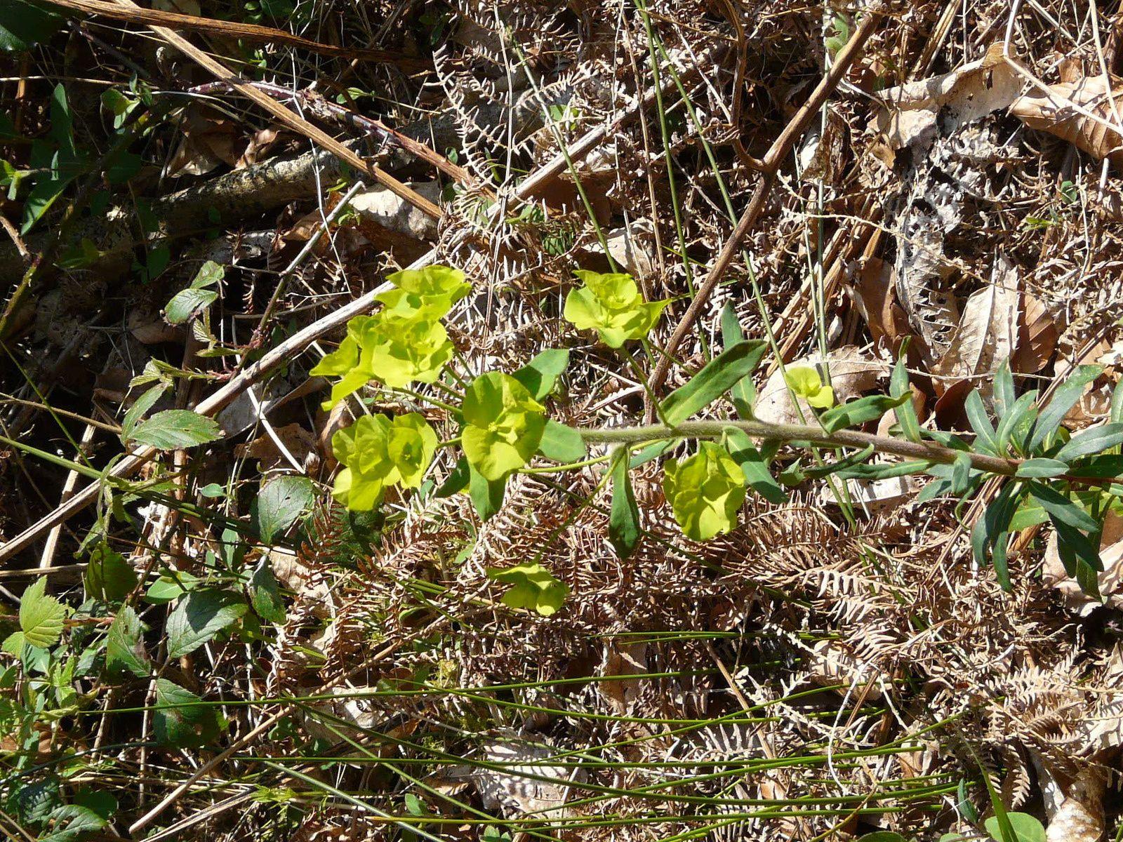 Voici l'Euphorbe des bois... et ses fleurs verdâtres.