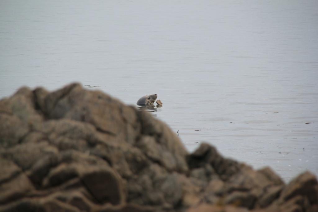 Cette photo de Antoine MANSUIS montre un phoque gris (dont on voit la tête au centre près du rocher).