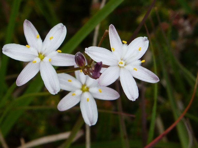 Ces plantes à fleurs blanches (Simethis mattiazzii) sont communes dans la lande littorales me dit Jean-Paul BARDOUL...
