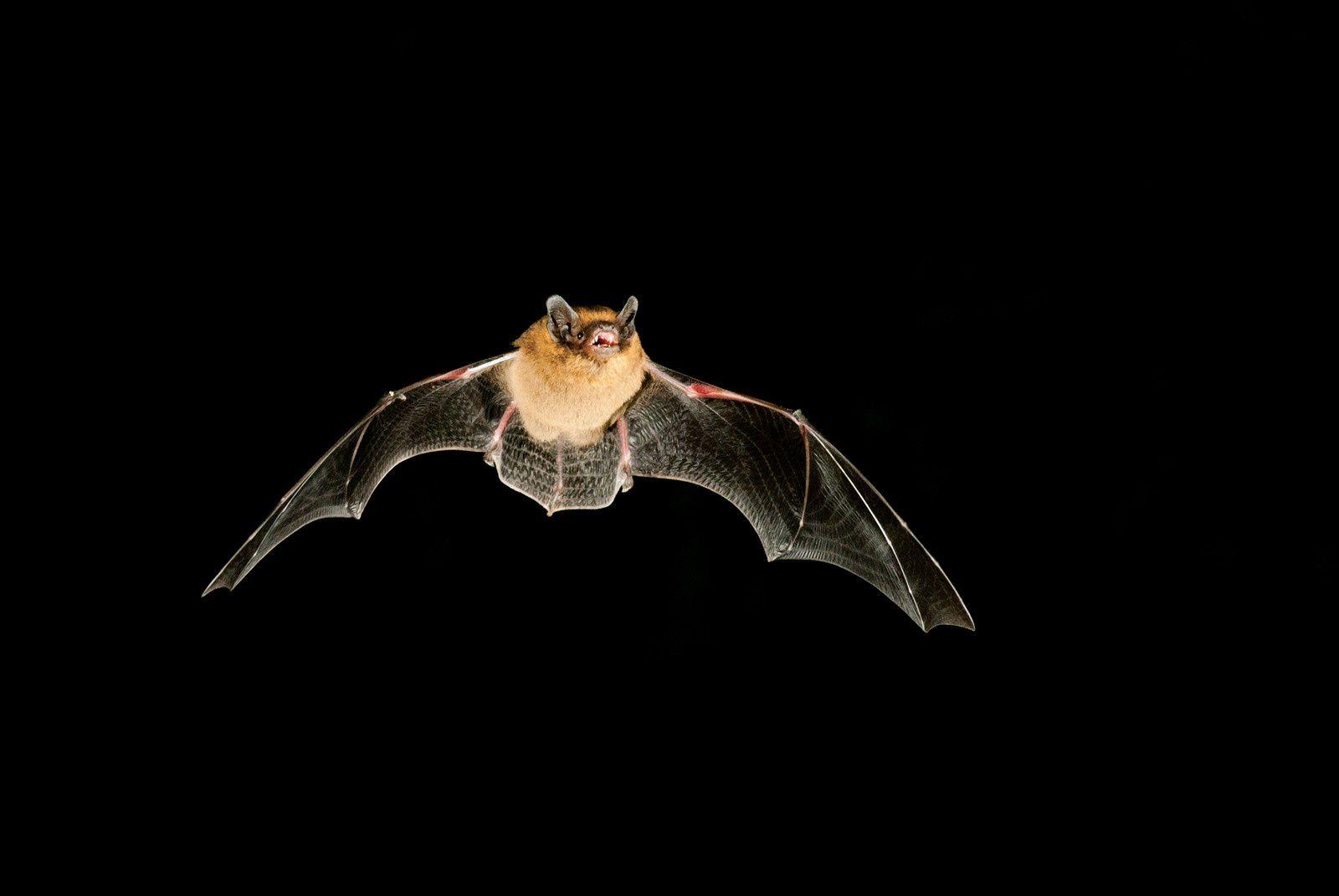 D'abord une Pipistrelle photographiée par Ronan Nédélec...