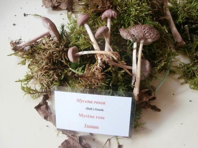 Lui c'est le Mycène rose (Mycena rosea) dont il faut se méfier.