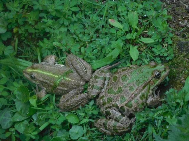Ces deux amphibiens (sans doute d'espèces différentes) ont pourtant l'air de bien s'entendre.
