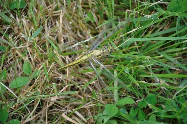 ... mais les autres insectes comme cette libellule... ne le laissent pas indifférent.