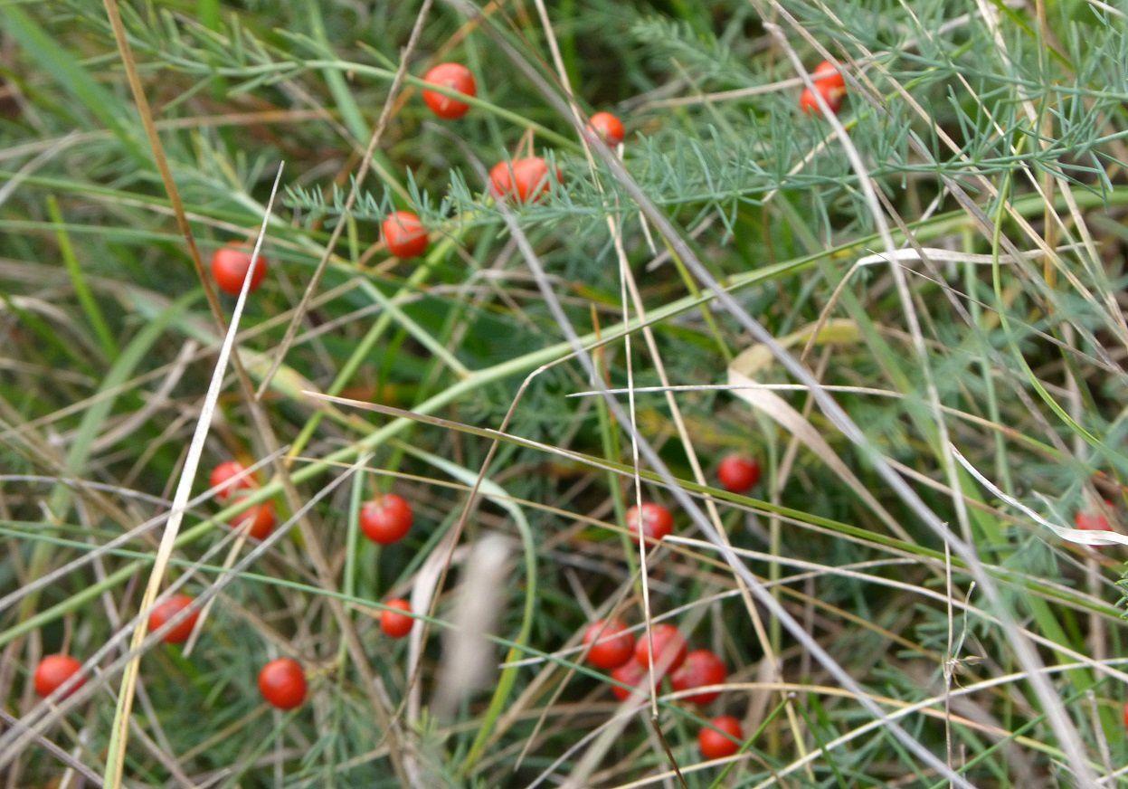 ... à ne pas confondre avec cet Aspargus dont les fruits sont rouges aussi.