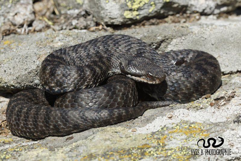Vipère aspic atra femelle gestante , couleur anthracite