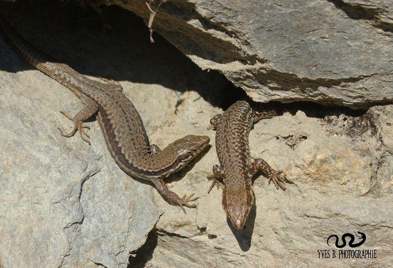 Couple de lézards des murailles