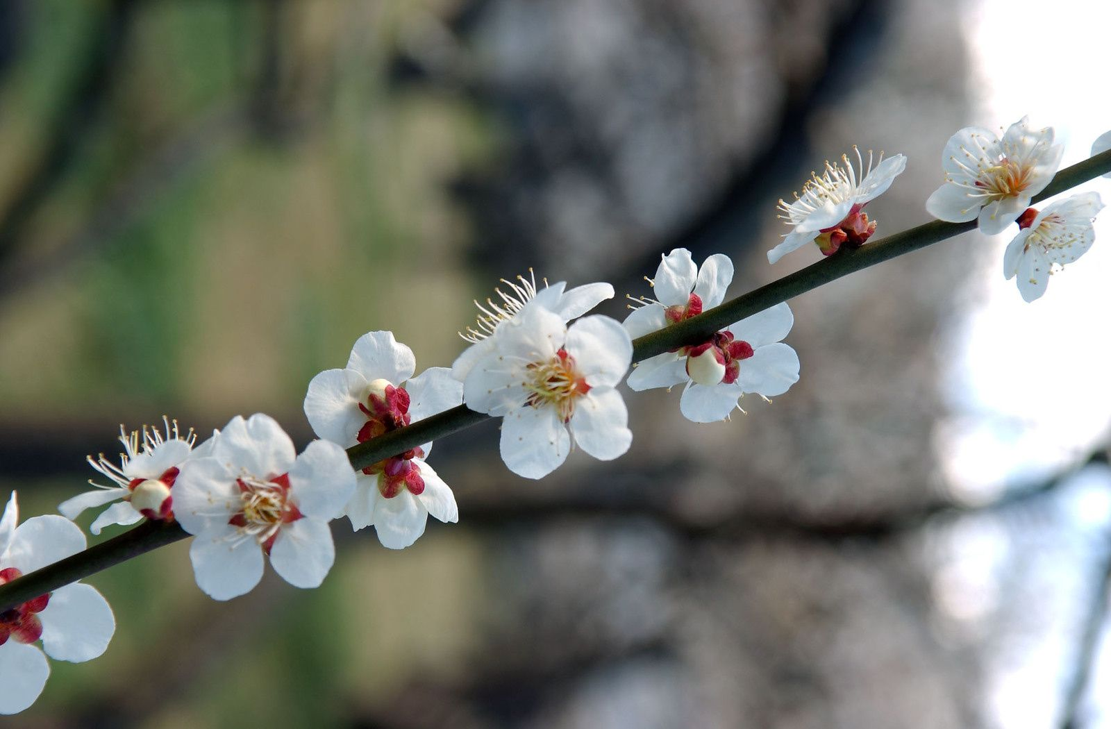 Branch of the plum
