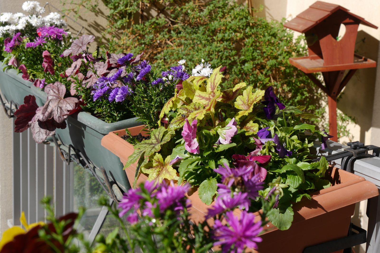 ...pensées, cylamens, heuchères et asters sur mon balcon francilien...
