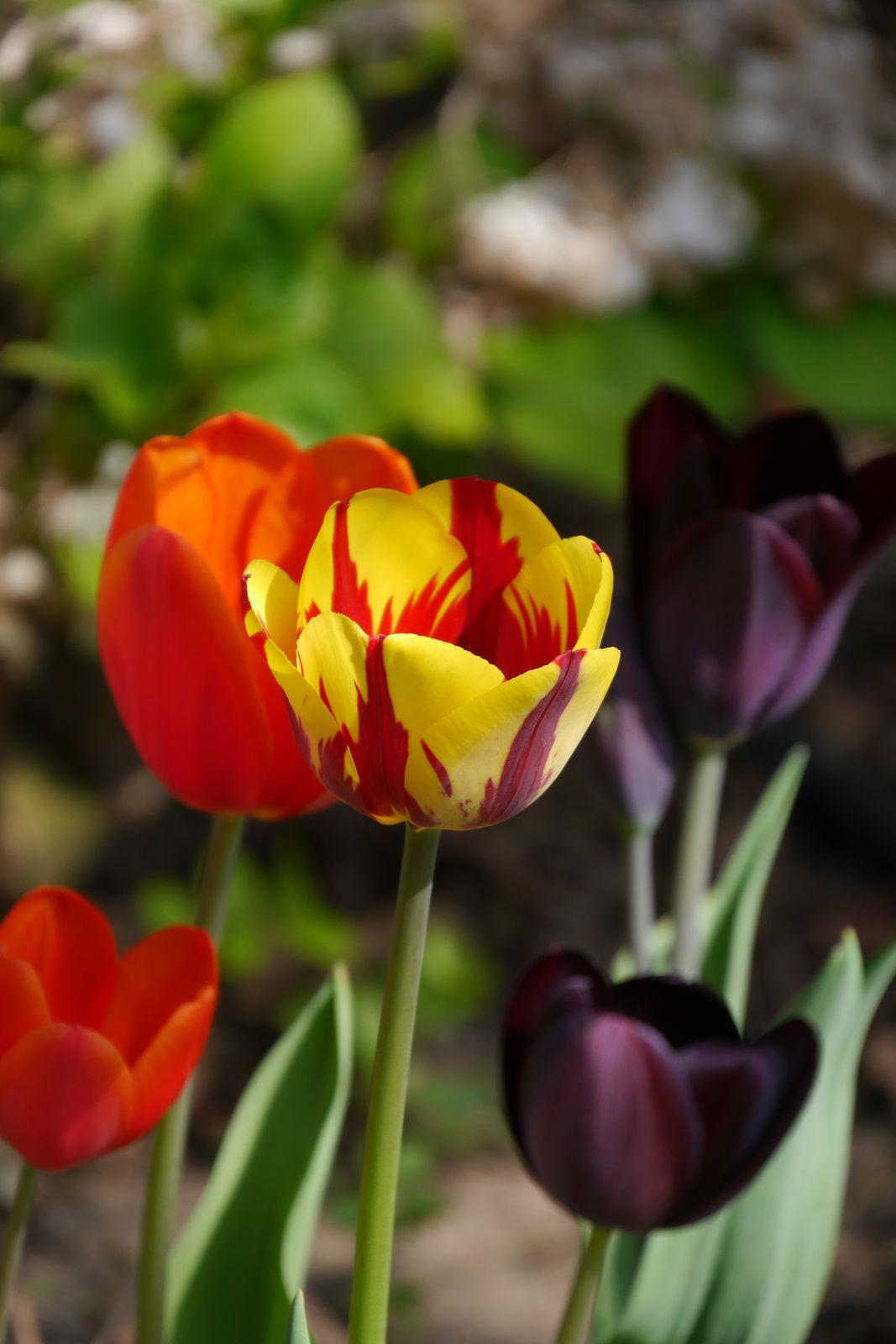 ...des tulipes pleins les yeux...