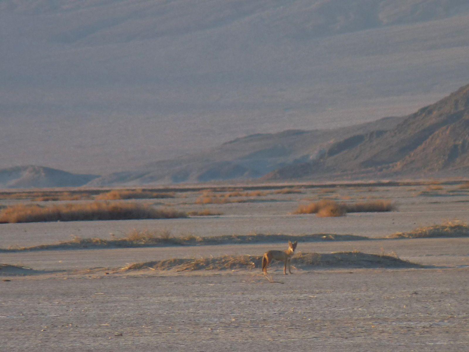 ...au loin un coyotte ... sur son territoire de chasse...