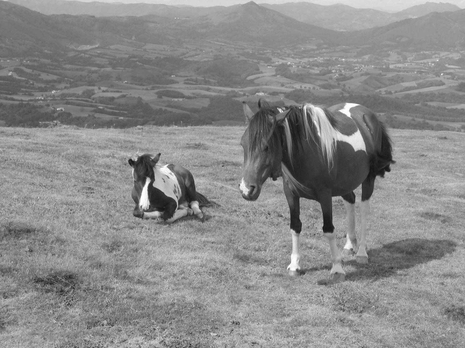 ...Pottoks dans les montagnes basques...