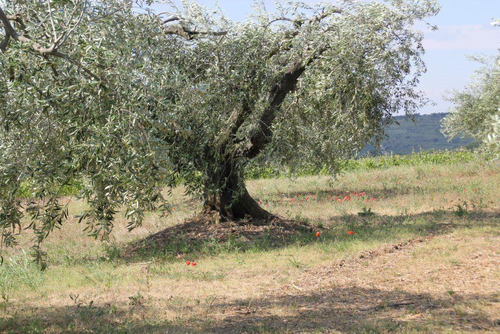 Rando des olivières 2015