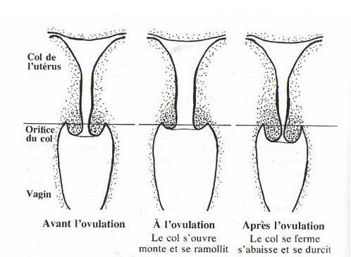 col apres ovulation si fecondation
