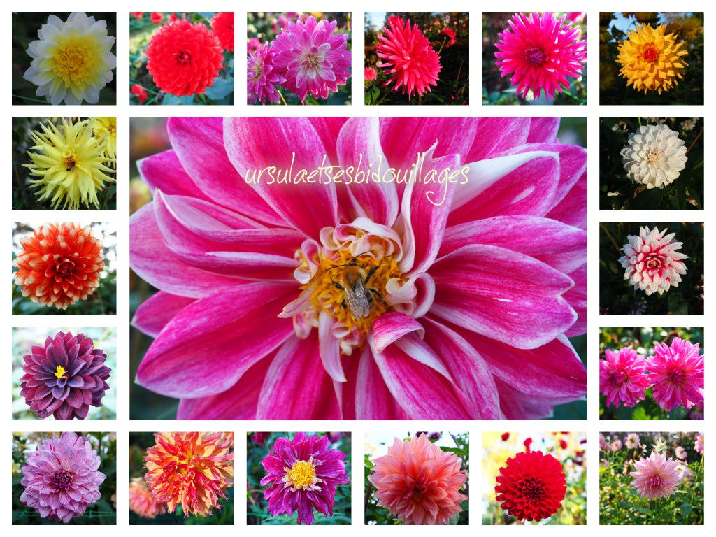 Magnifique collection de dahlias